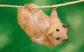 Funny Hamster photo