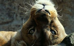 Funny Pictures Lion