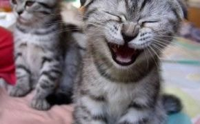 Amazing funny picture of a laughing cat