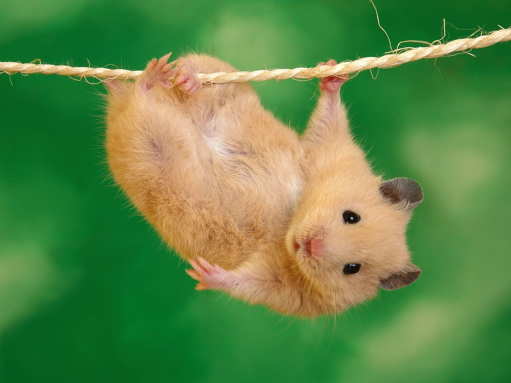 Funny_Hamster