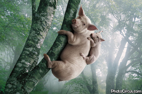 new animal species was found the pig koala that is climbing on trees